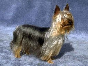 the-australian-silky-terrier-a-snake-killer